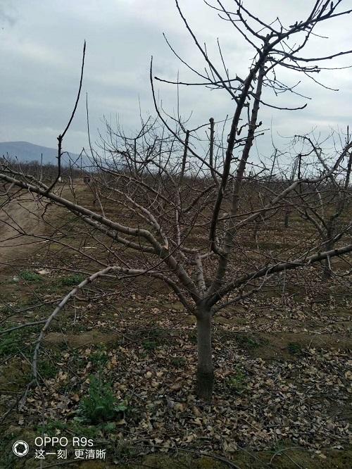 8公分苹果树出售