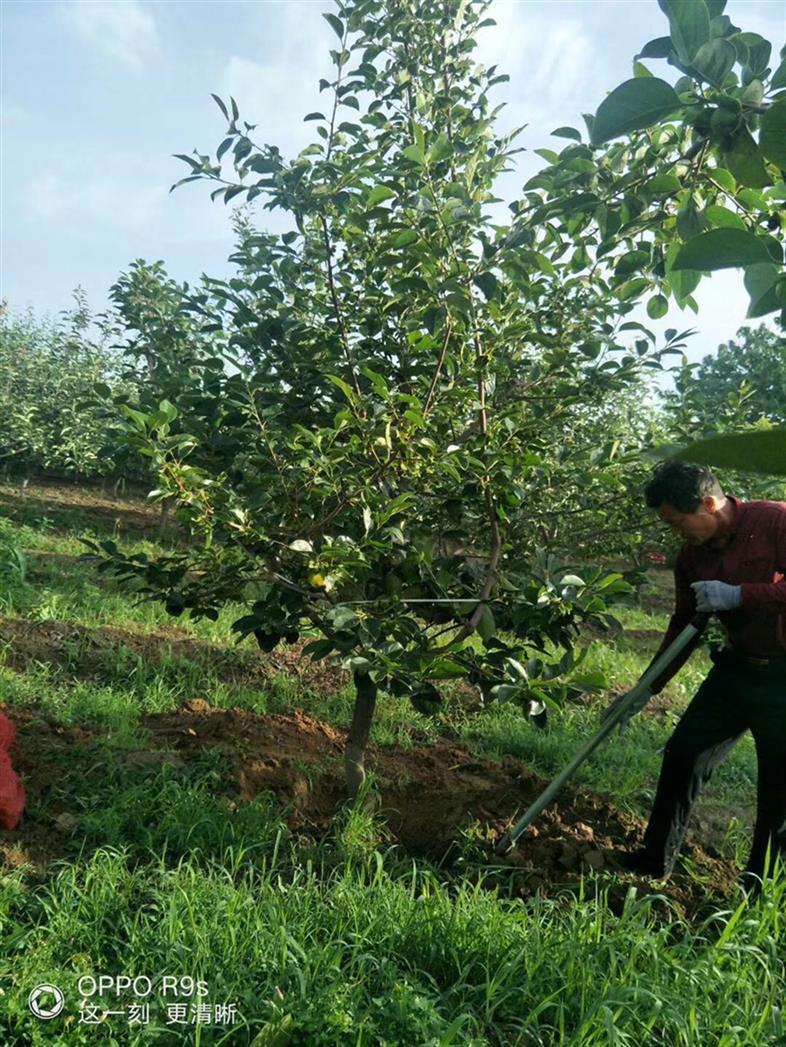 4公分柿子树批发价格
