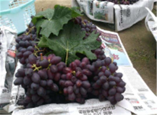 树葡萄苗子价格平和益达八折