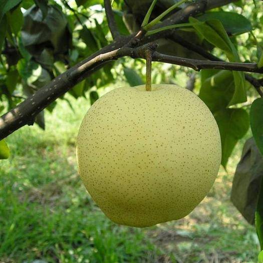 阿勒泰梨树苗价格