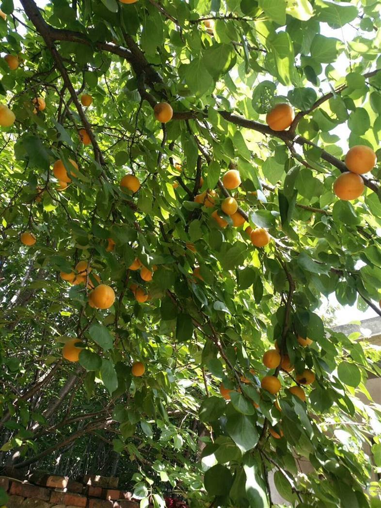 无锡杏树苗批发