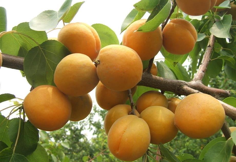 仁用杏树苗价格行情