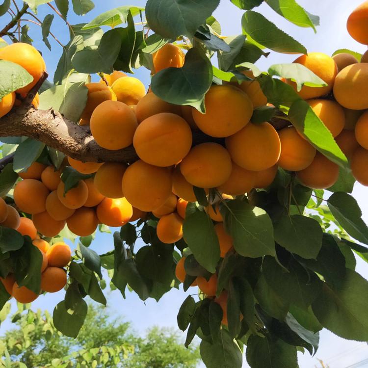 固原杏树苗价格