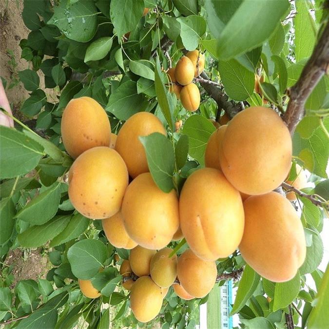 杏树苗出售供应