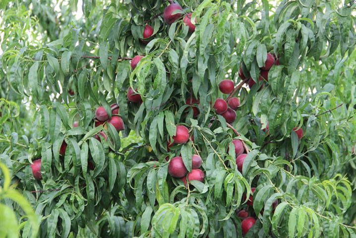 三门峡桃树苗