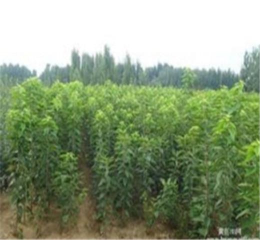 矮化樱桃苗销售价格优惠