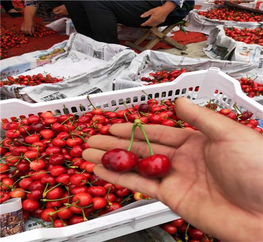 矮化樱桃苗新价格价格实惠