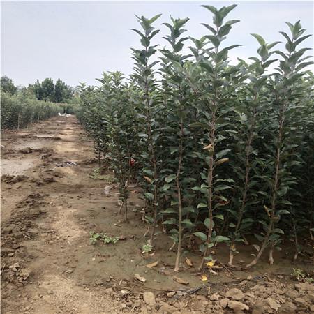 红蜜脆苹果苗生产基地 3公分苹果树苗 免费提供技术指导