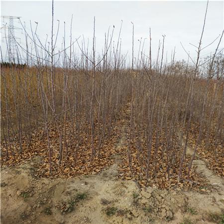 金帅苹苹果苗生产基地 四年苹果树苗 成活率高