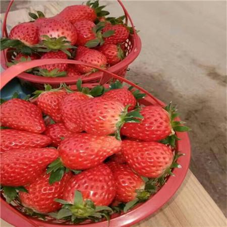 丹莓草莓树苗生产基地 桃熏草莓苗 放心选购