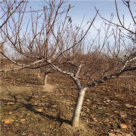 枣油桃树桃苗批发 黄金蟠桃树苗 种类齐全