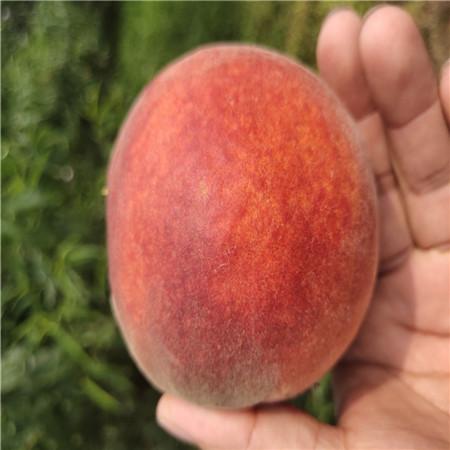 映霜红桃树桃苗批发 黄一桃树苗 今年新品种