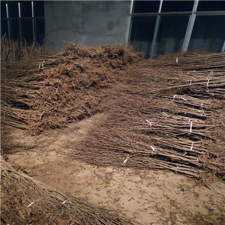 黑籽石榴苗产量 三年石榴树苗 欢迎订购