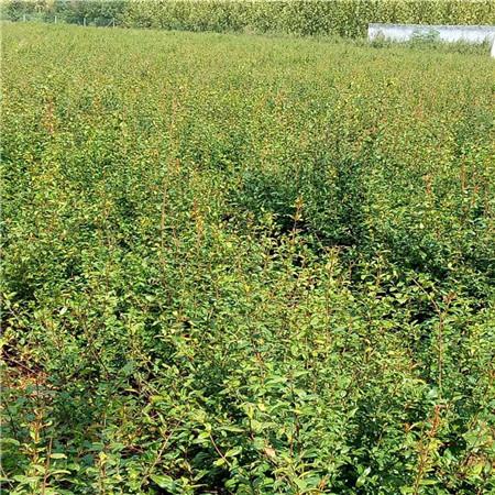 突尼斯软籽石榴苗价格 三年石榴树苗 成活率高