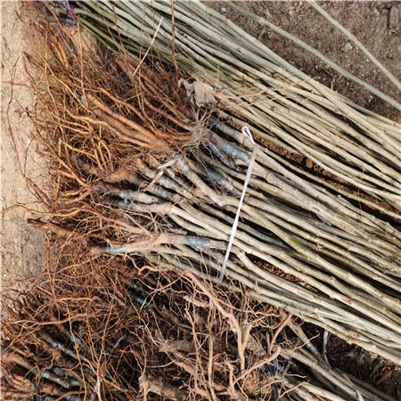 九家板栗苗成活率 板栗树苗 怎么种成活率高