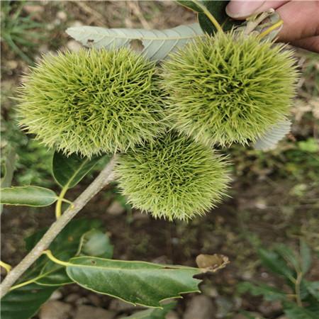 九家板栗苗价格 华光板栗树苗 今年新品种