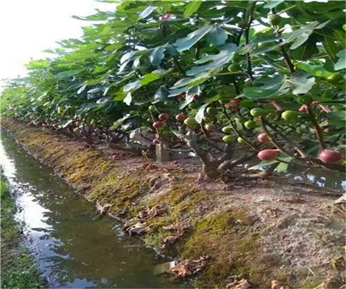 玛斯义陶芬无花果苗零售价格,日本紫果苗生产苗圃
